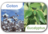 coton eucalyptus